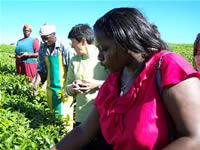 Cultivadores de té